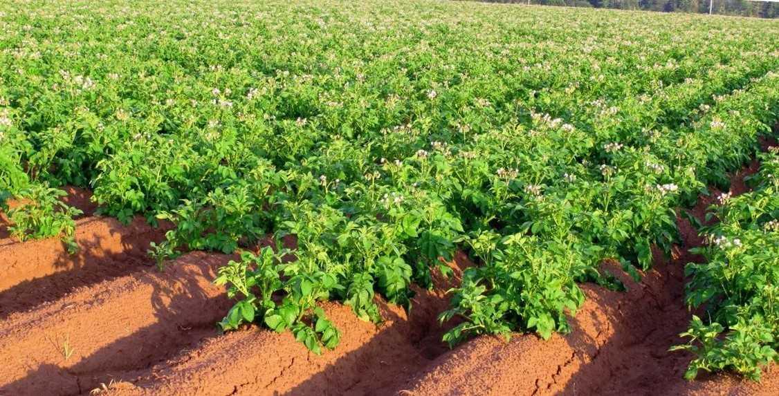 Что сажать рядом с картофелем: хорошие и плохие соседи