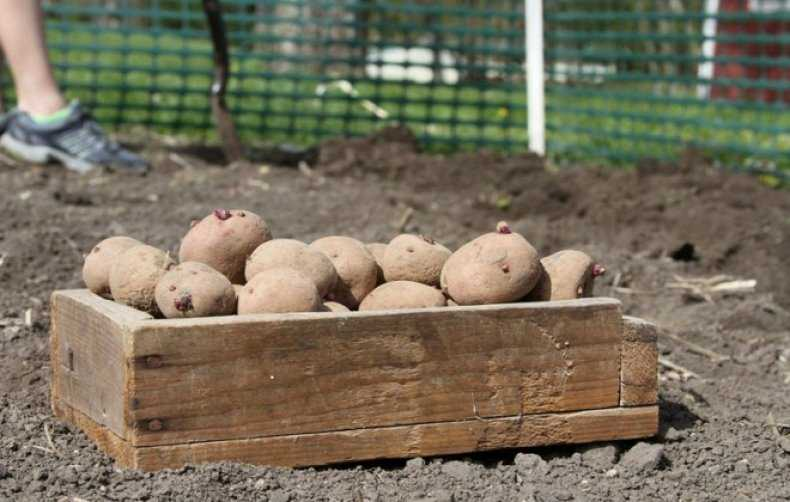 как лучше посадить картофель