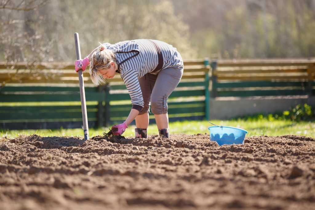 как правильно сажать картофель по лопату