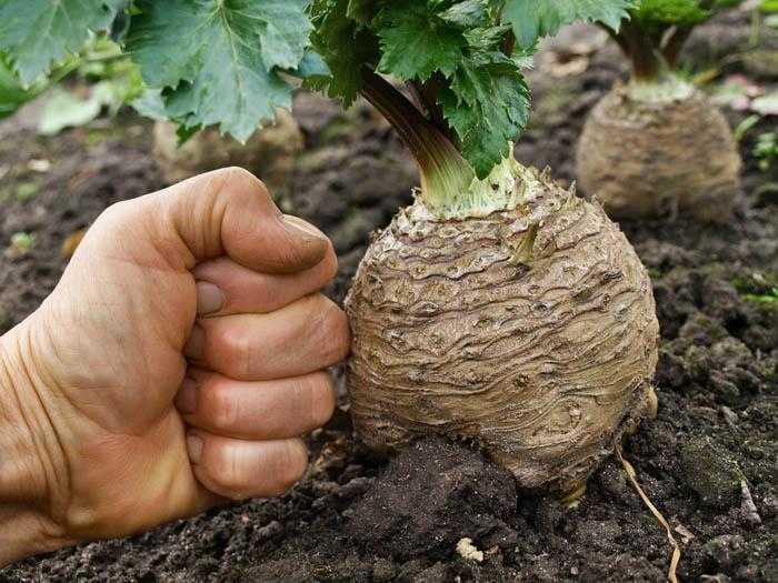 как вырастить корневой сельдерей