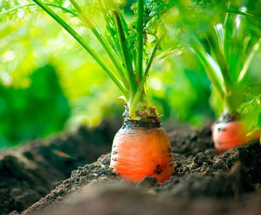 какую морковь лучше сажать