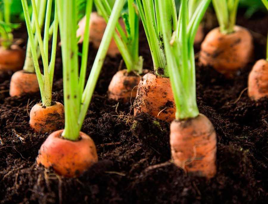 севооборот моркови