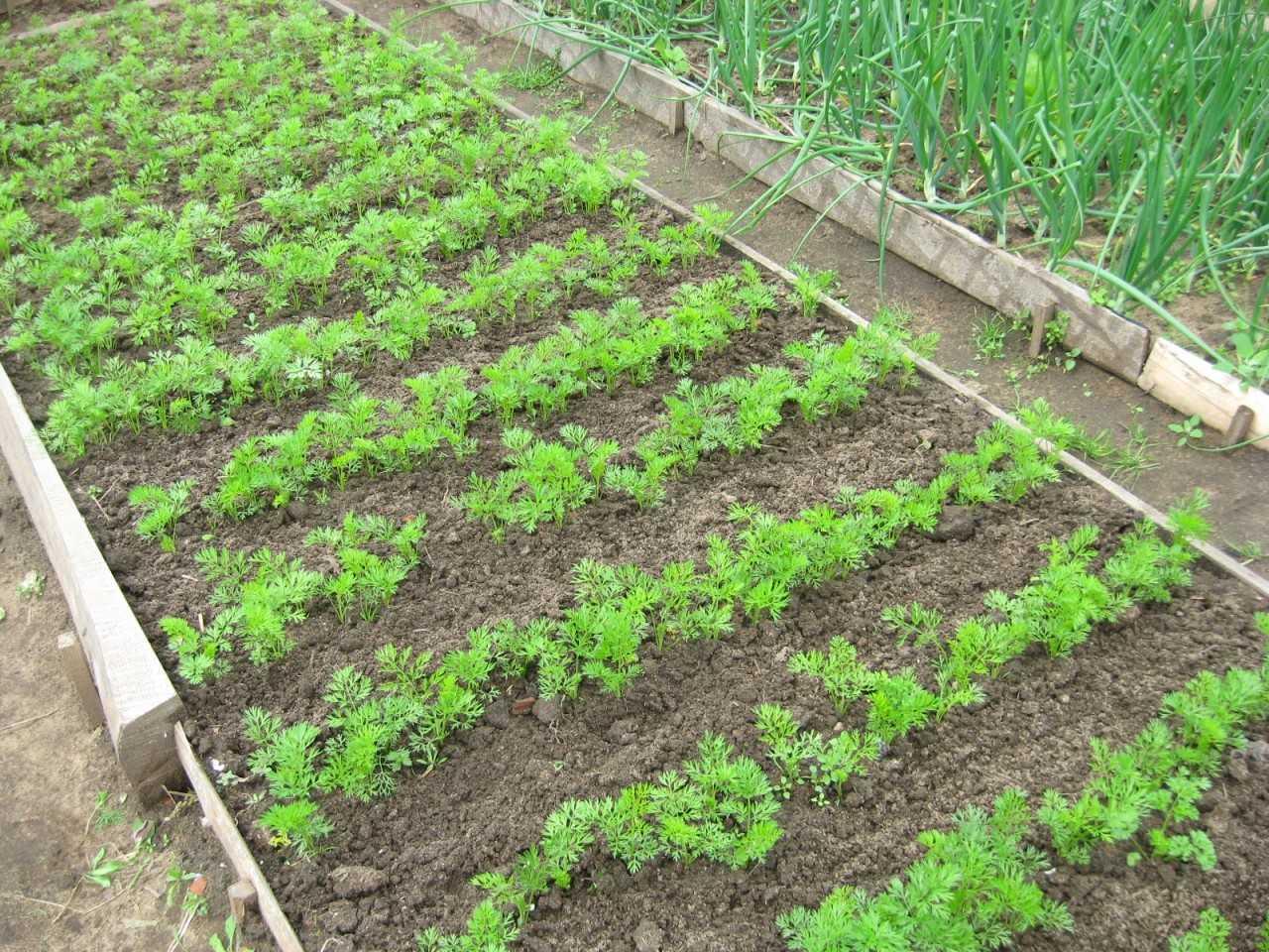 как посадить морковь в открытый грунт