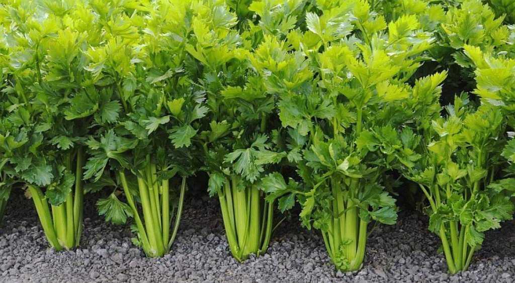 сельдерей выращивание и уход в открытом грунте
