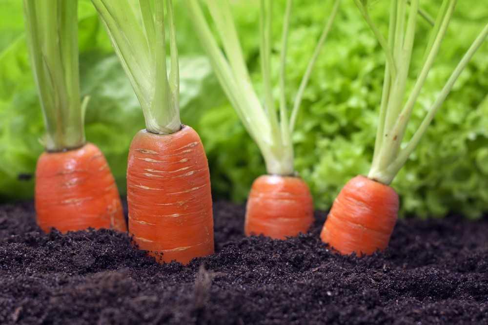 какую морковь сажать