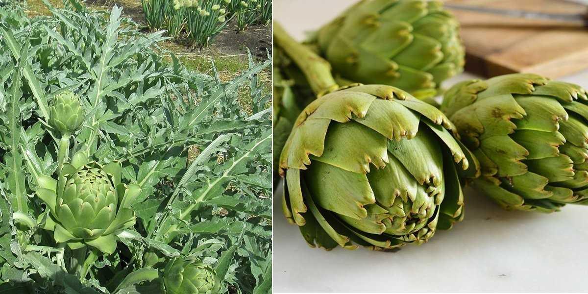 артишок выращивание из семян