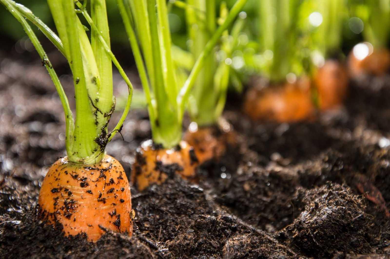 после чего можно сажать морковь