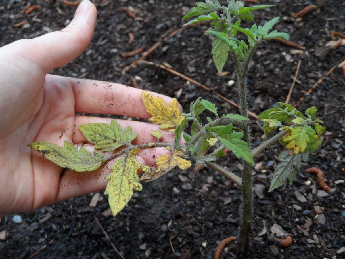 После высадки в грунт помидоры пожелтели: почему и что делать?