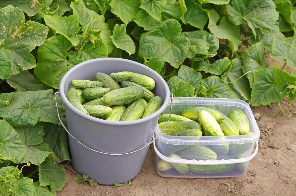 Как увеличить урожай огурцов в три раза?