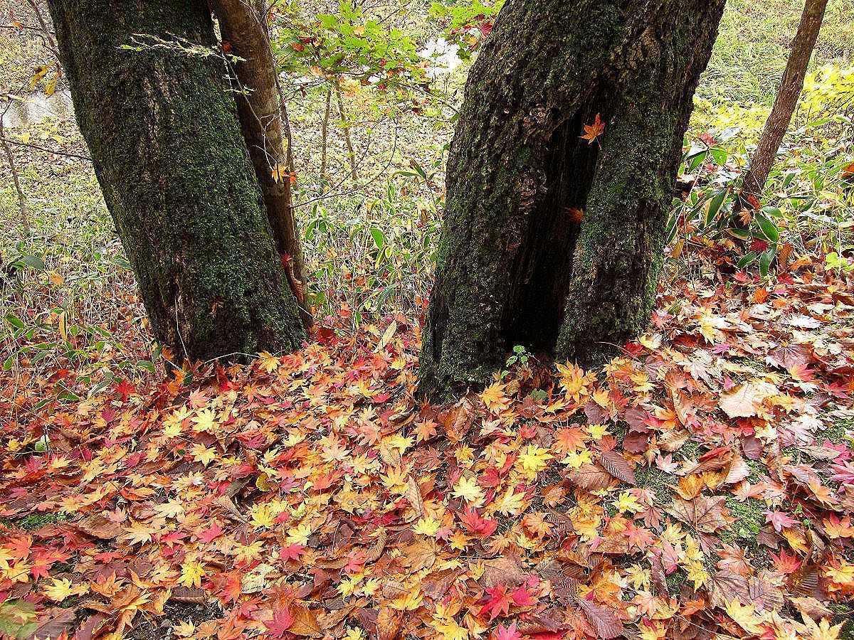 Опавшая листва – драгоценное сырьё для огородников. Применяем её с максимальной пользой.