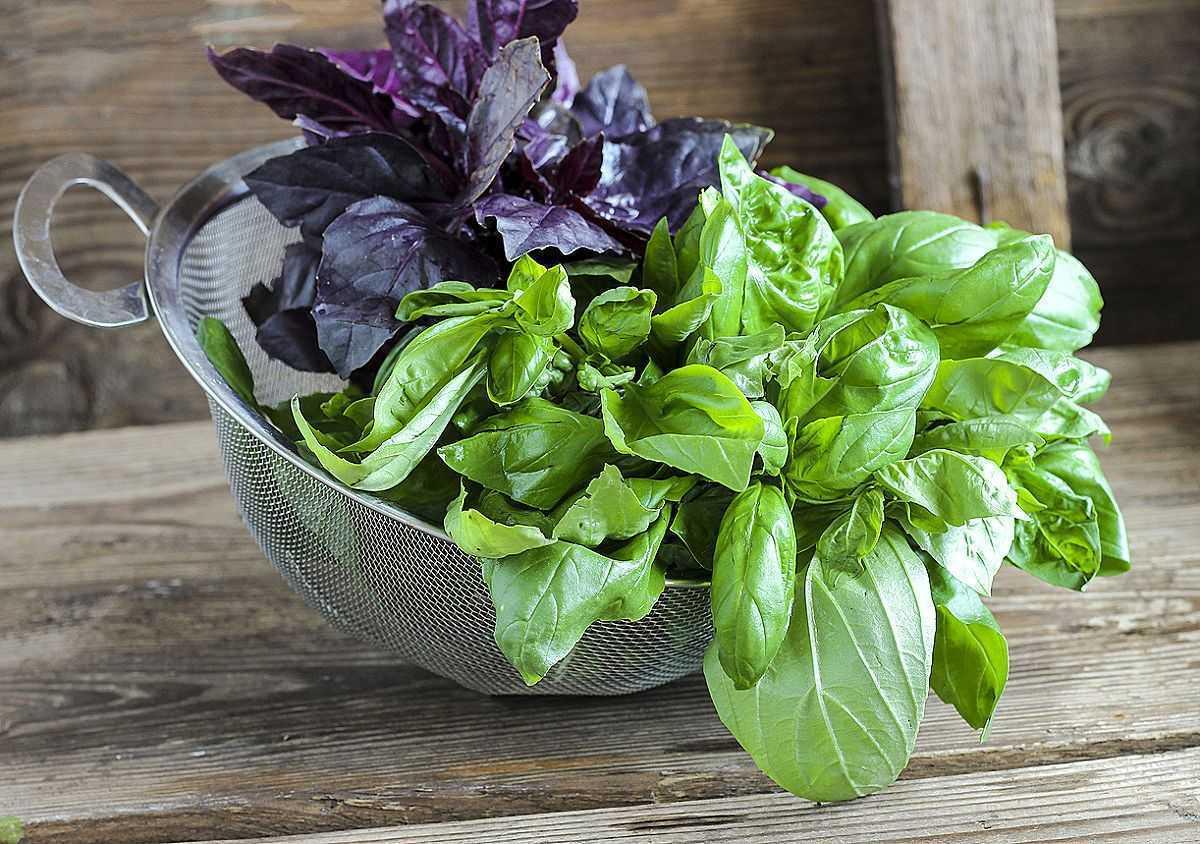 Как получить роскошную зелень базилика в домашних условиях