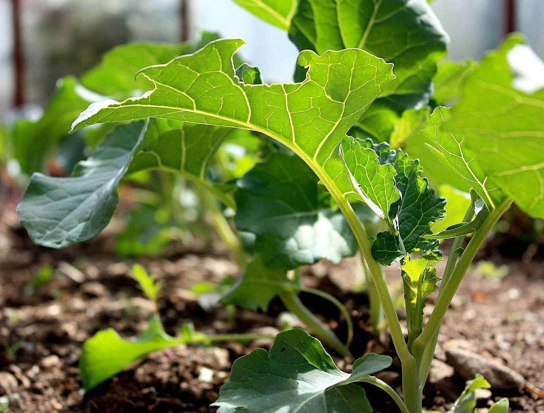 Как готовить брокколи к рассаде