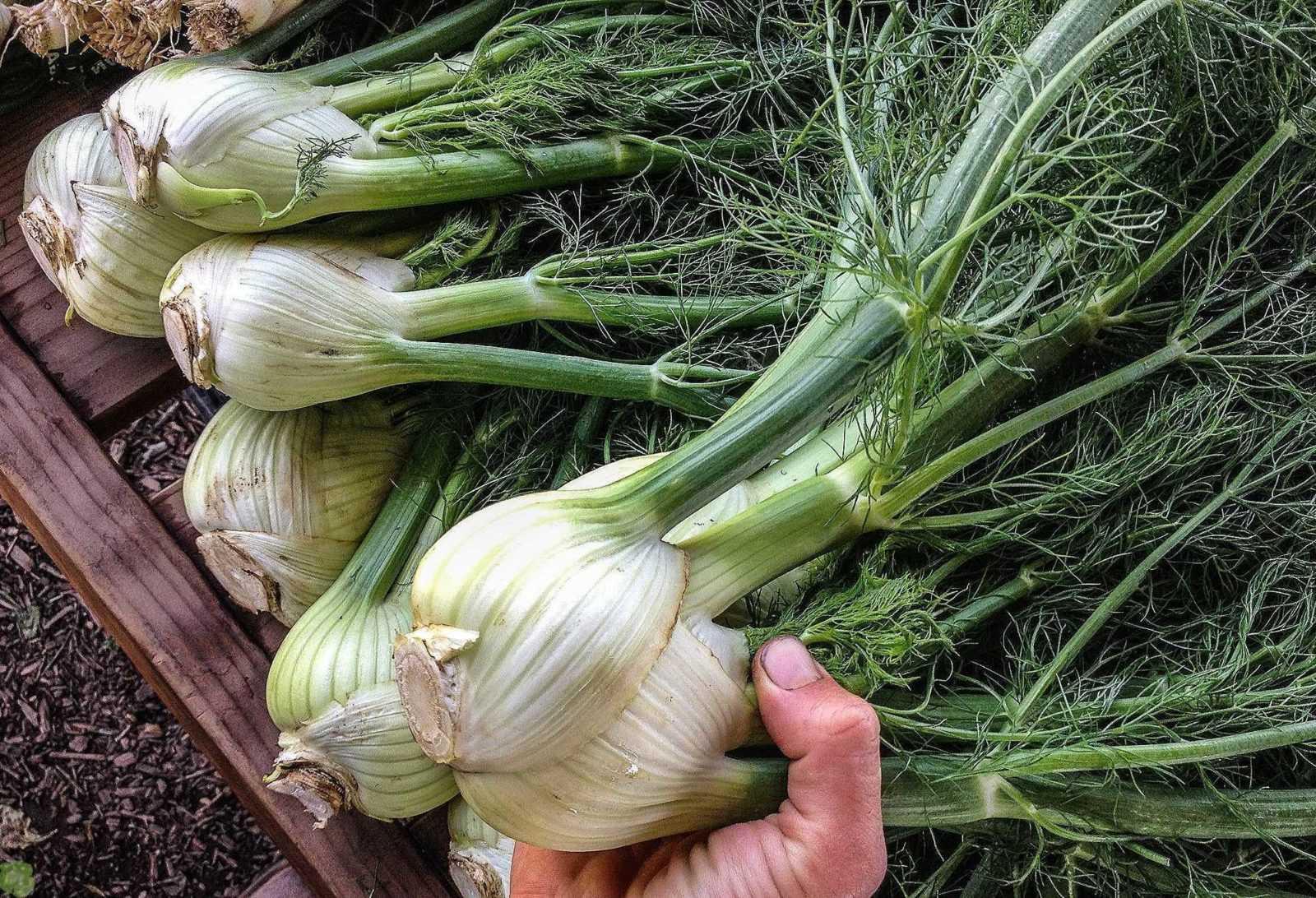 Как выращивать целебный фенхель круглый год
