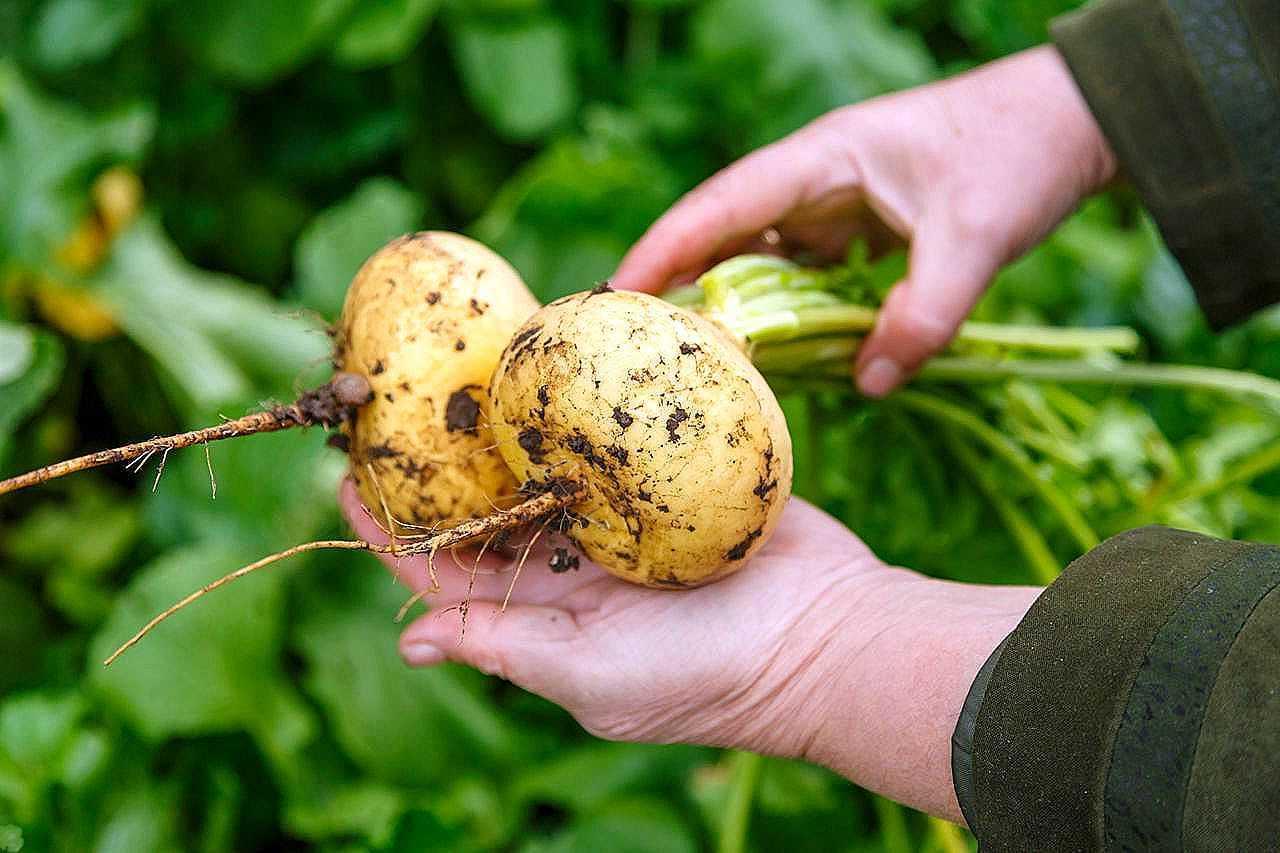 Чудесная репа - неприхотливый корнеплод