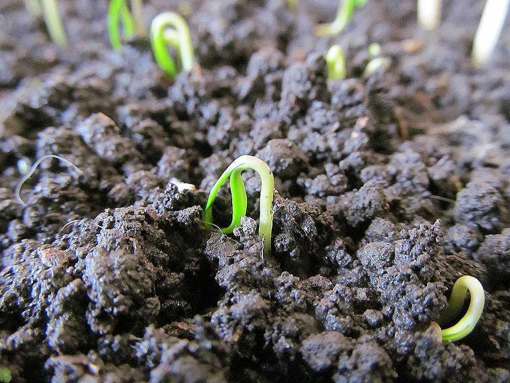 Как правильно посеять семена баклажанов, чтобы получить хорошую рассаду
