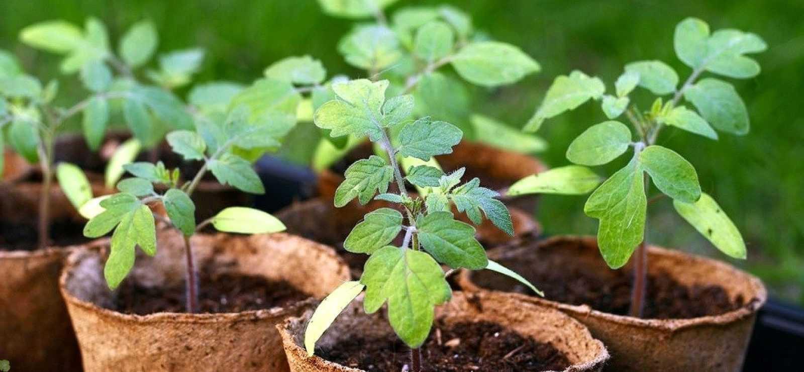 5 ошибок при выращивании рассады