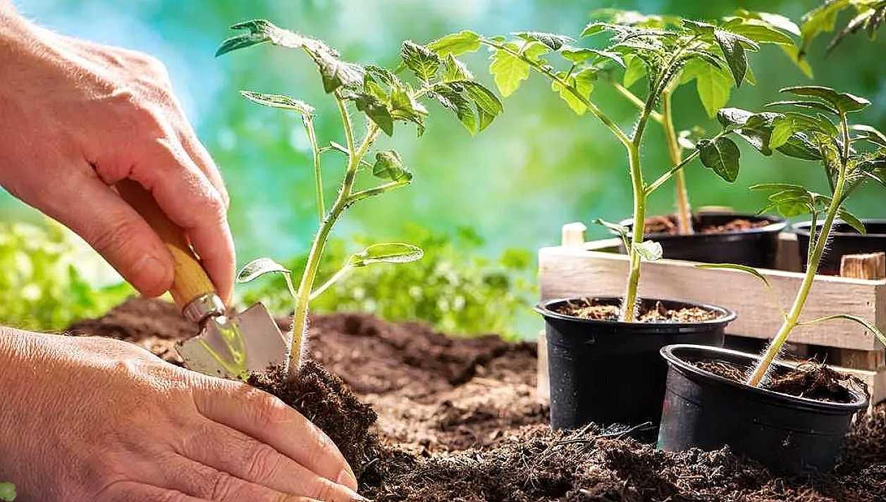 Как вырастить помидоры от семян до вкусных, качественных плодов?