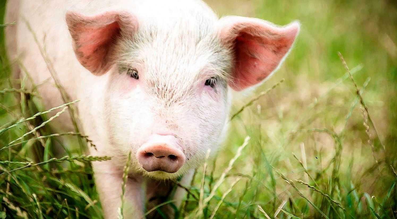 Свиньи — породы и особенности