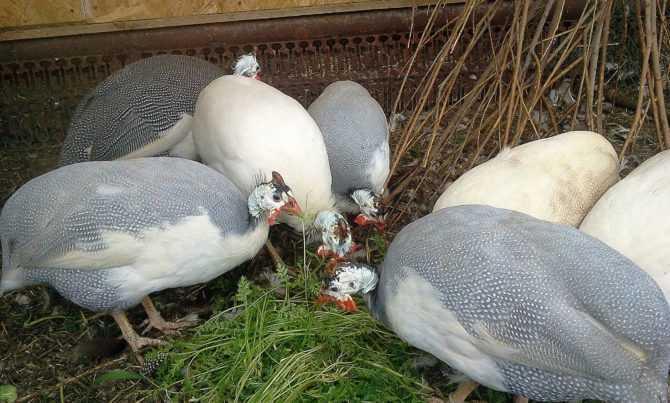 Загорские белогрудые цесарки, особенности экстерьера и условия содержания