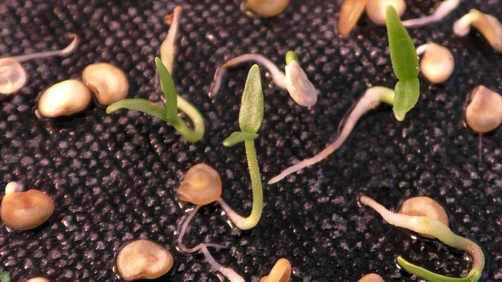 Способы повышения всхожести семян