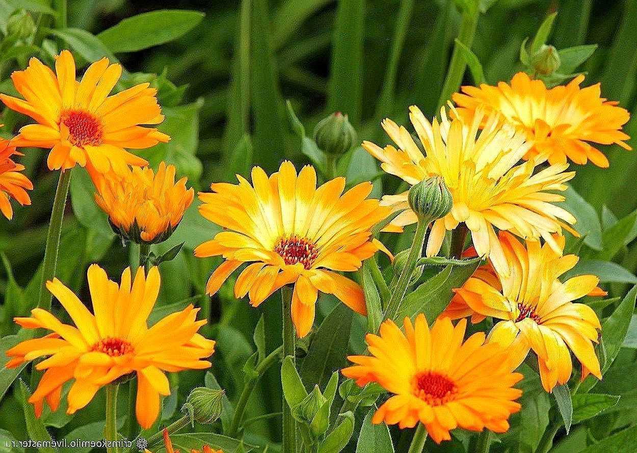 Замечательный цветок календула