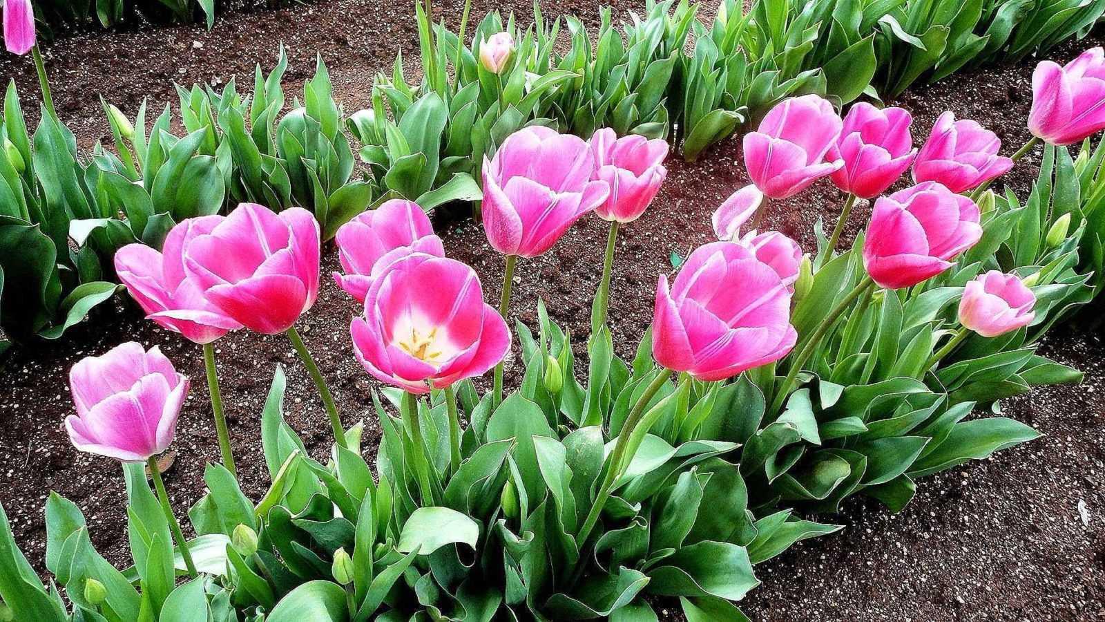 Из-за чего плохо цветут тюльпаны?