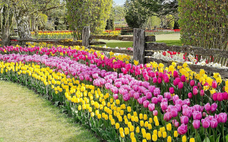Какими тюльпанами украсить свой сад
