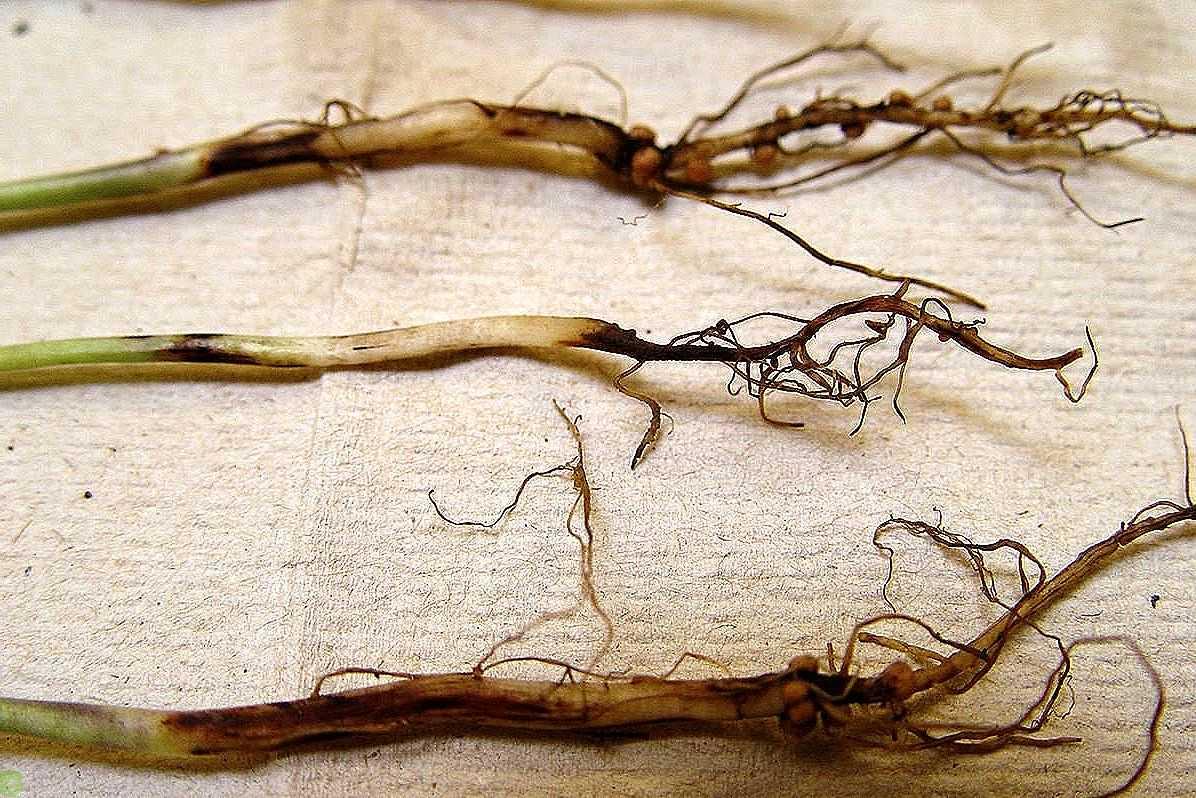 Чёрная ножка у капусты: как предотвратить?