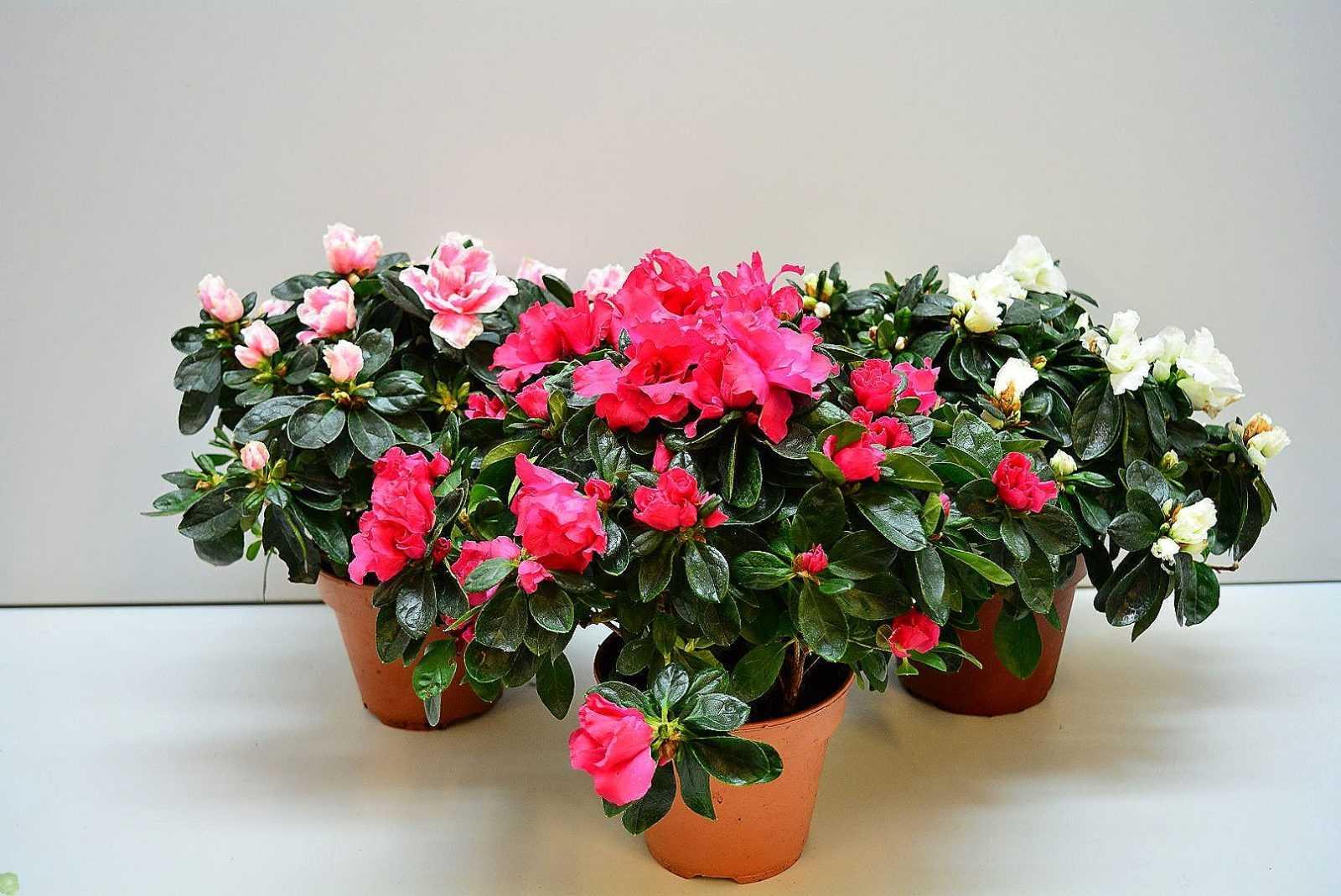 Как ухаживают и выращивают капризный и привередливый цветок, с красивым названием азалия