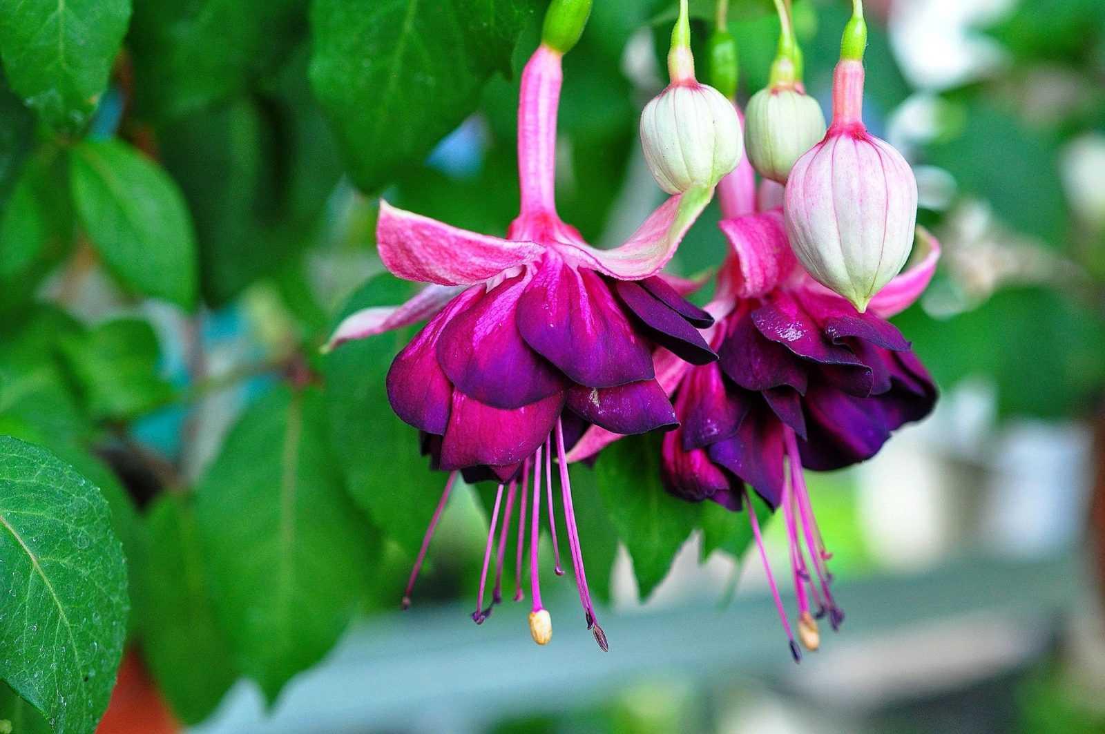 Фуксия Сиреневая – ее описание, выращивание и особенности