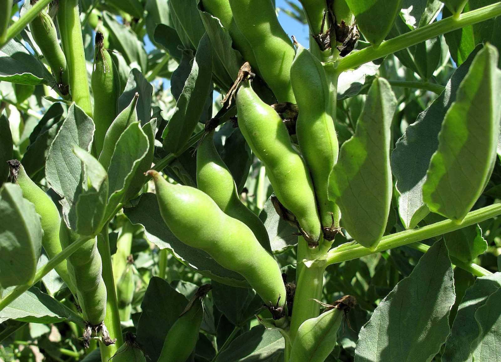 Выращивание бобов в огороде