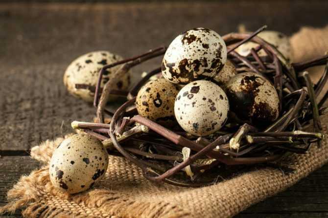 С чего начать разведение перепелов или основные правила успешной инкубации перепелиных яиц