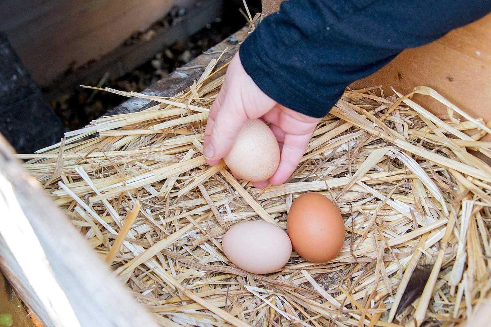 Как получить многочисленный выводок здоровых цыплят