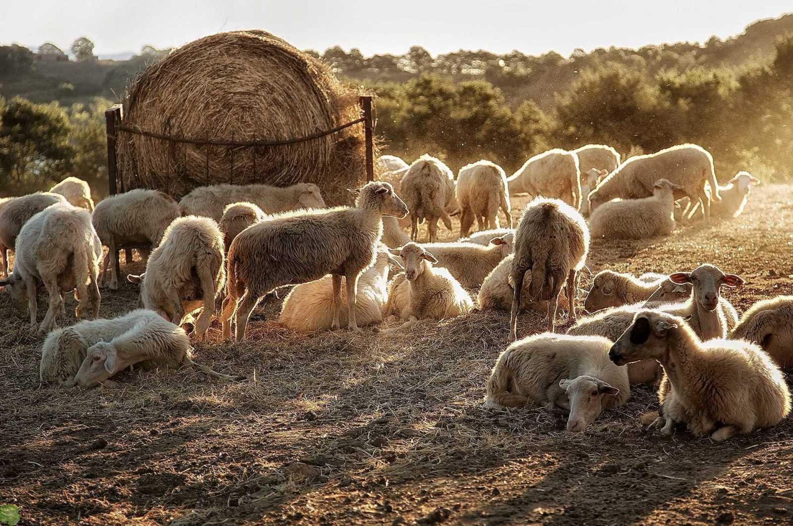 Выращивание овец как бизнес для начинающего фермера