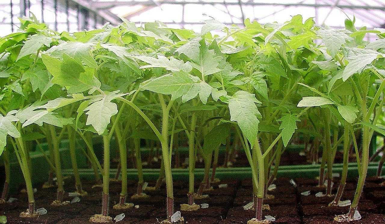 Особенности проращивания томатов