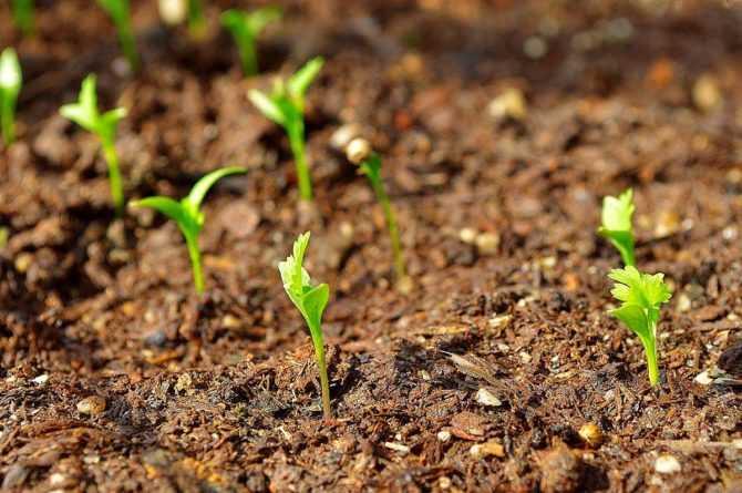 Как быстро посадить петрушку?
