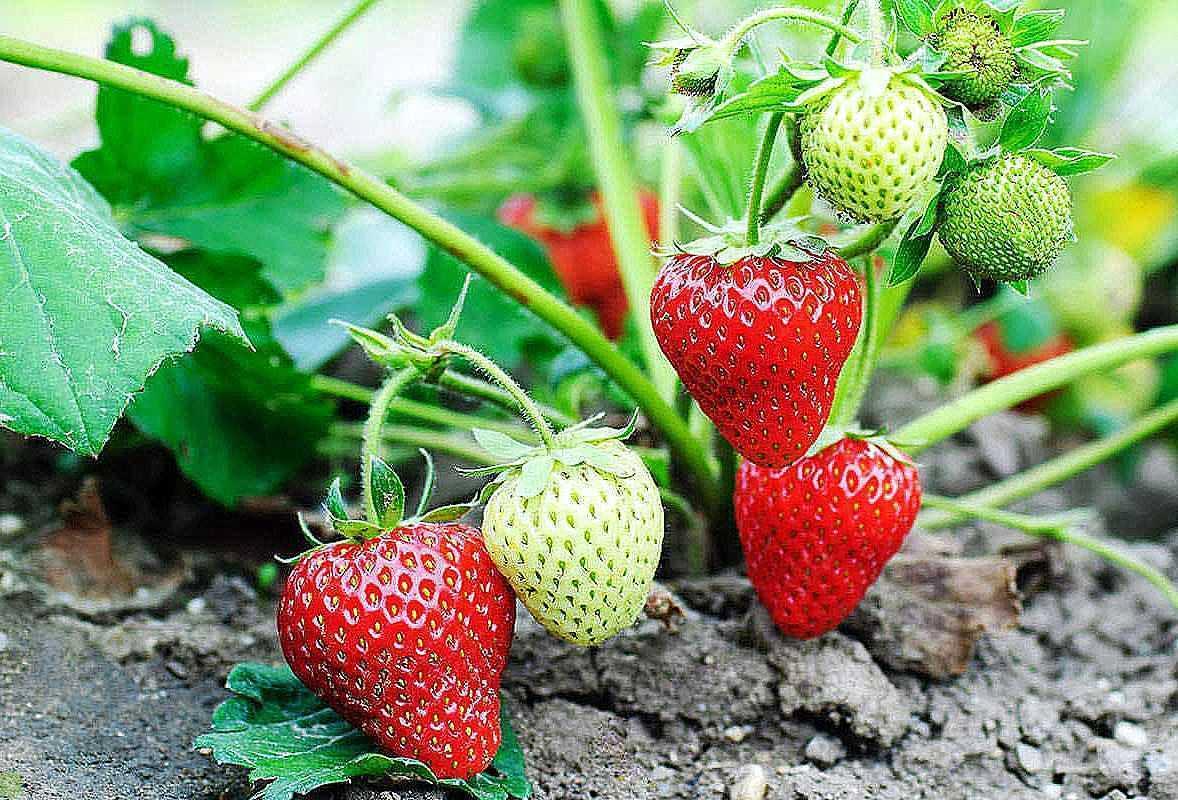 Как защитить клубнику от вредителей и вырастить богатый урожай
