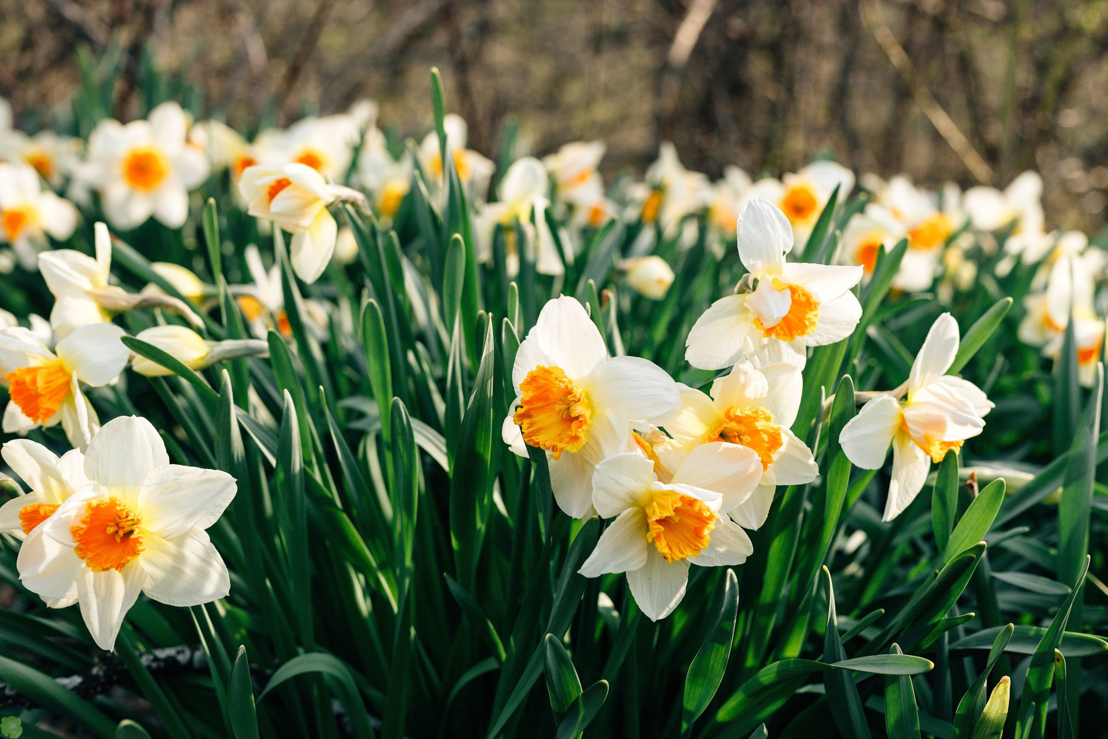 Осенняя посадка пропущена: весна без нарциссов?