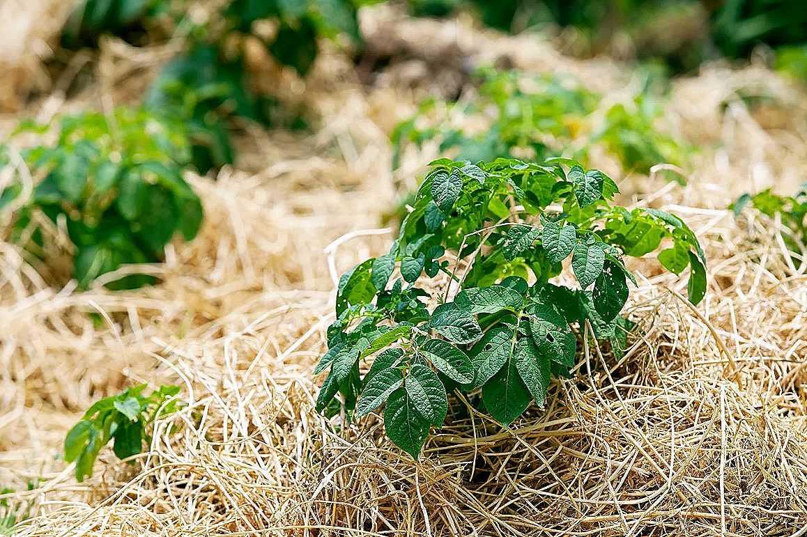 Главное, что нужно знать о мульчировании почвы соломой