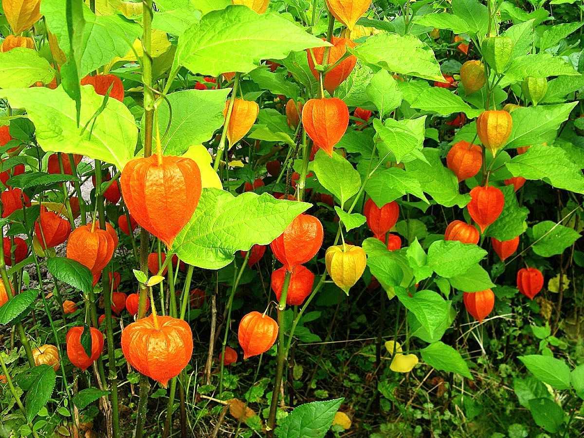 Выращивание физалиса съедобного на участке