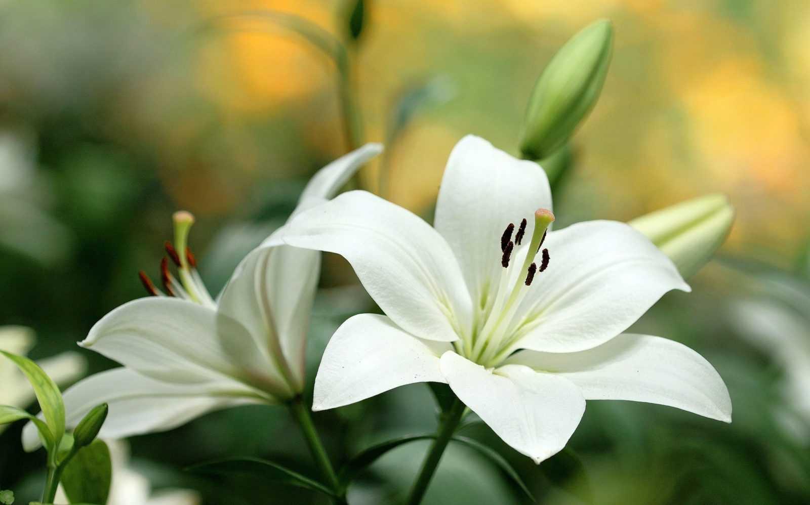 Как вырастить лилию из чешуйки?