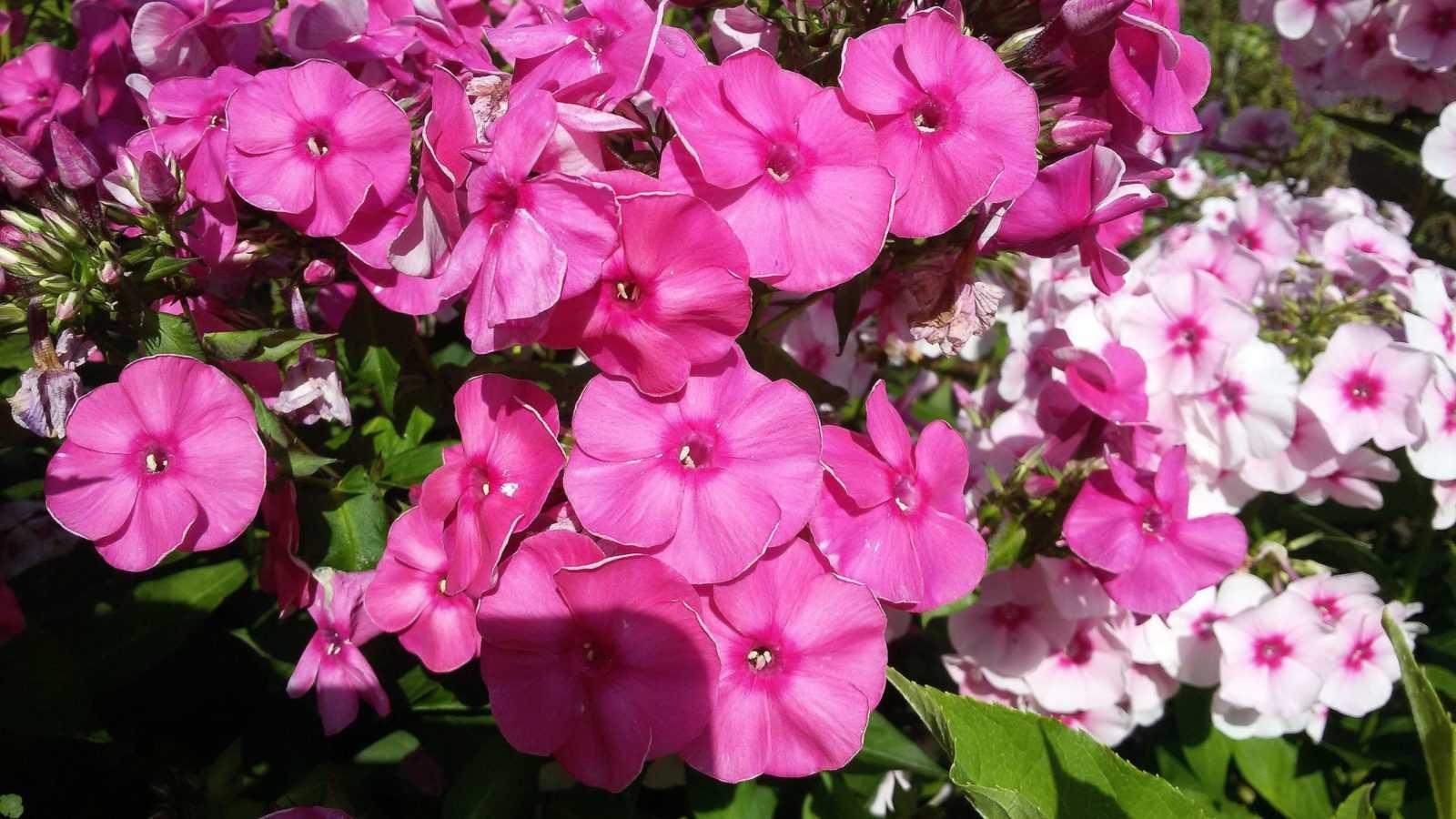 Все о выращивании флокса каролинского