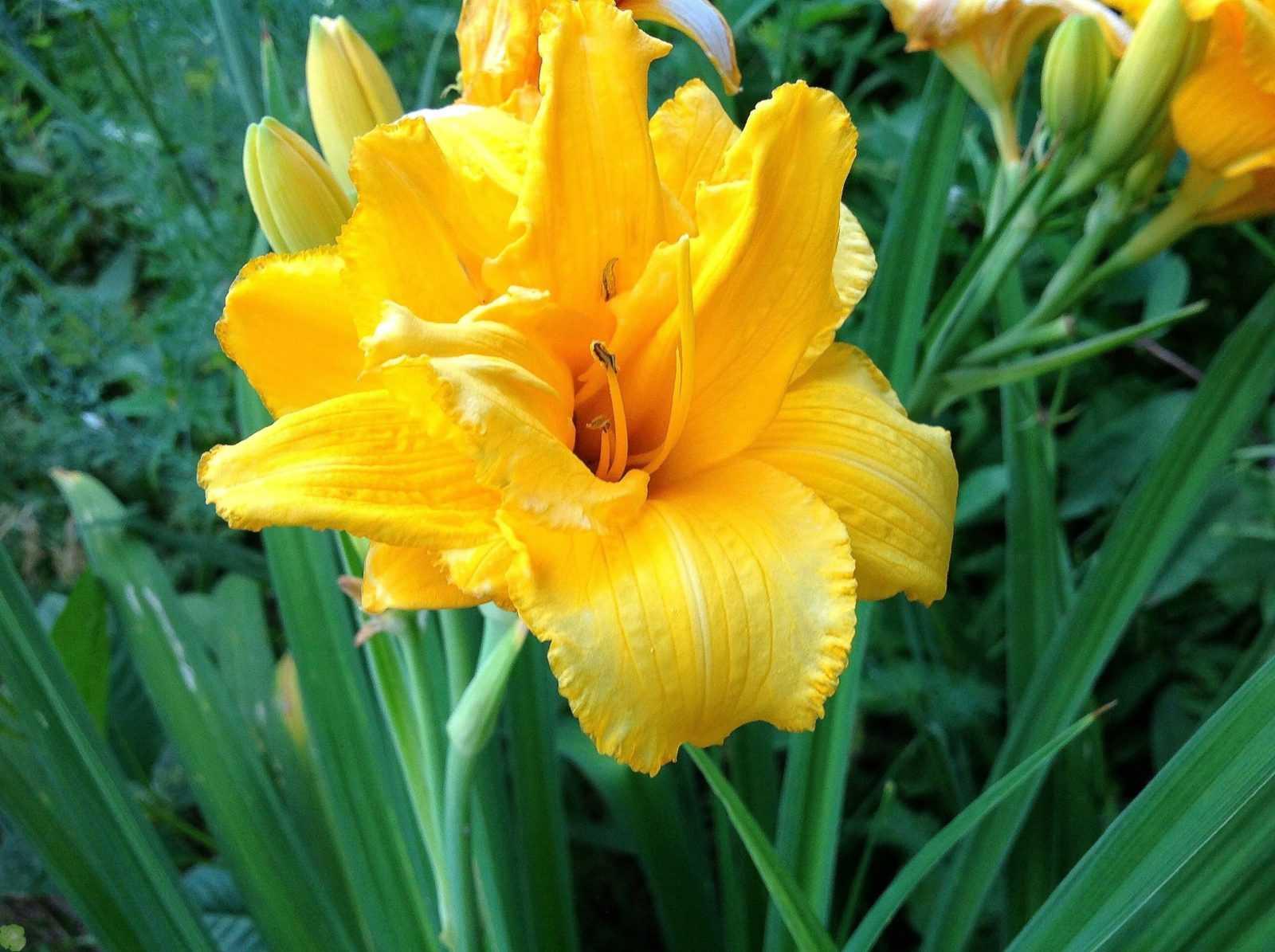 Лилейник – цветок единственного дня