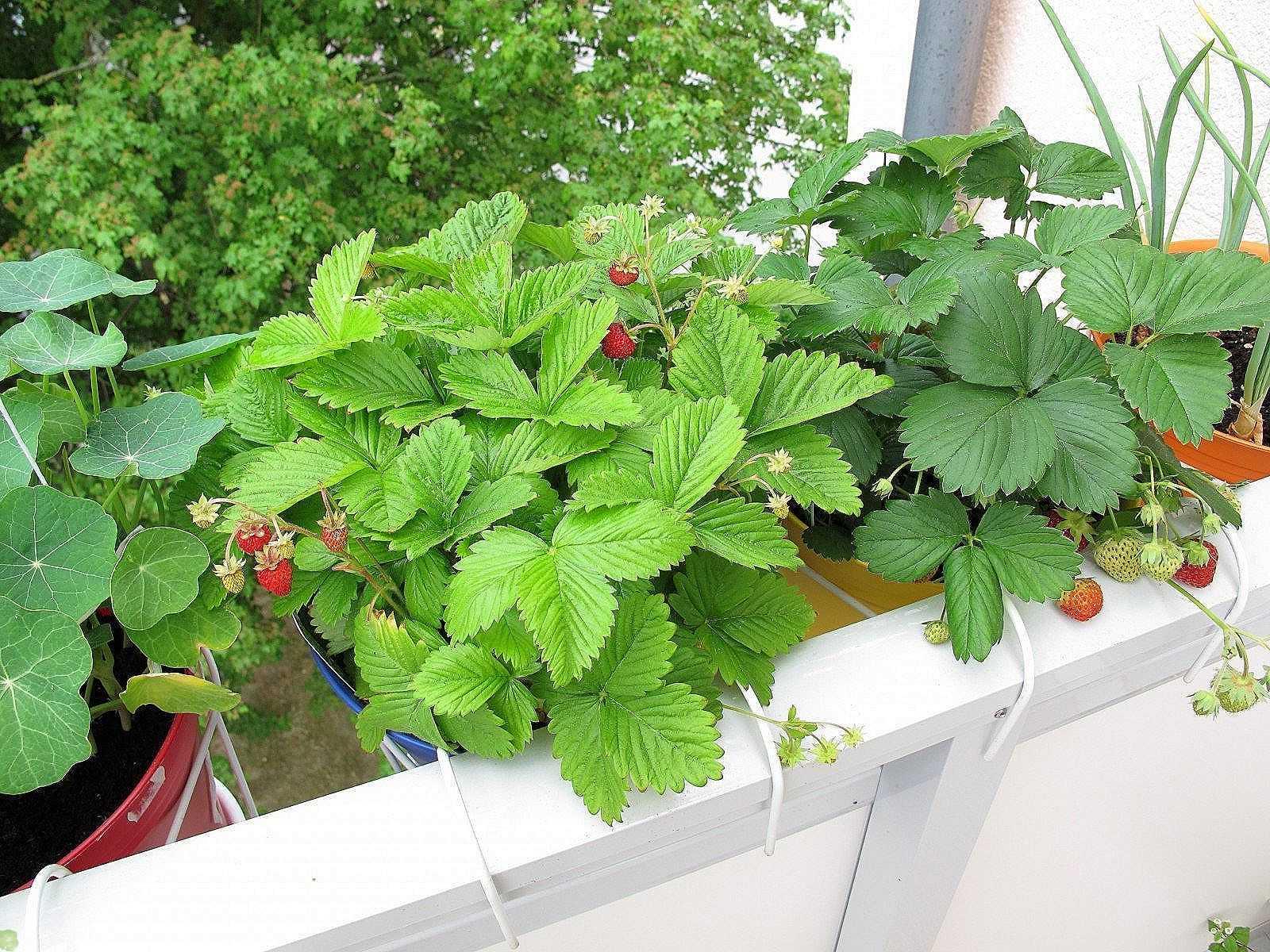Вы знаете, что можно выращивать землянику у себя на балконе?