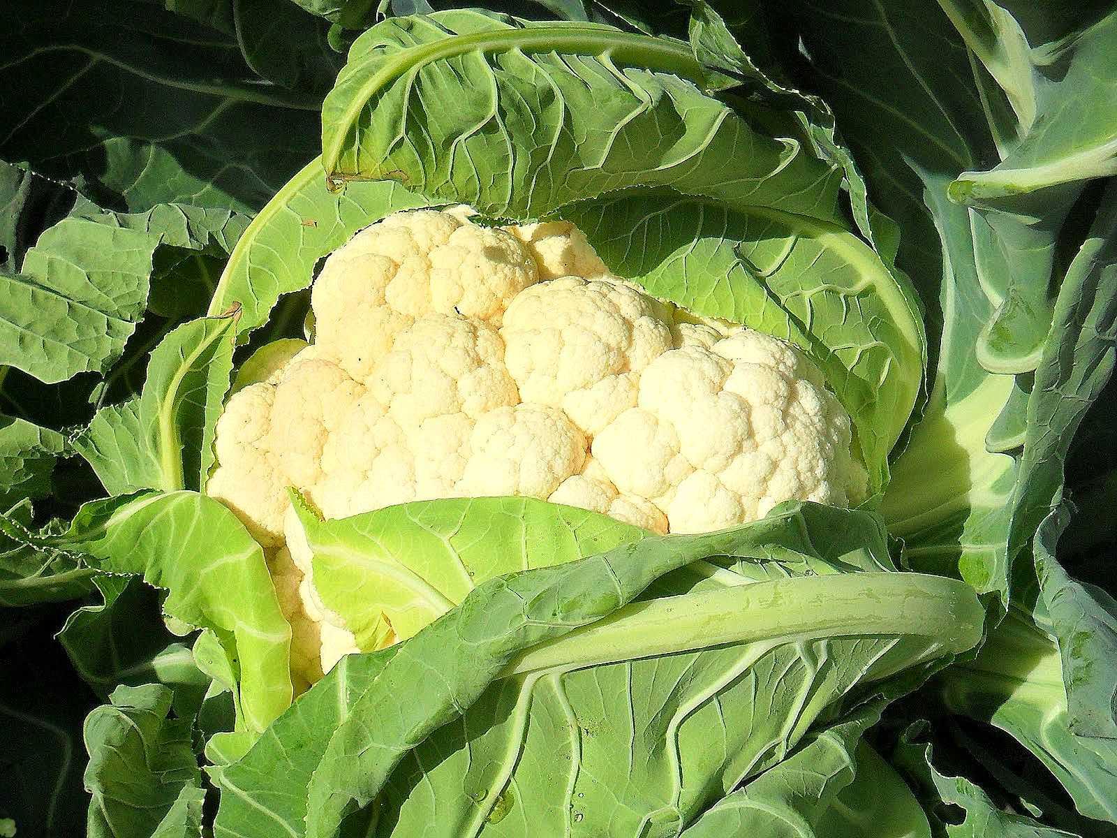 Полезные советы при выращивании цветной капусты