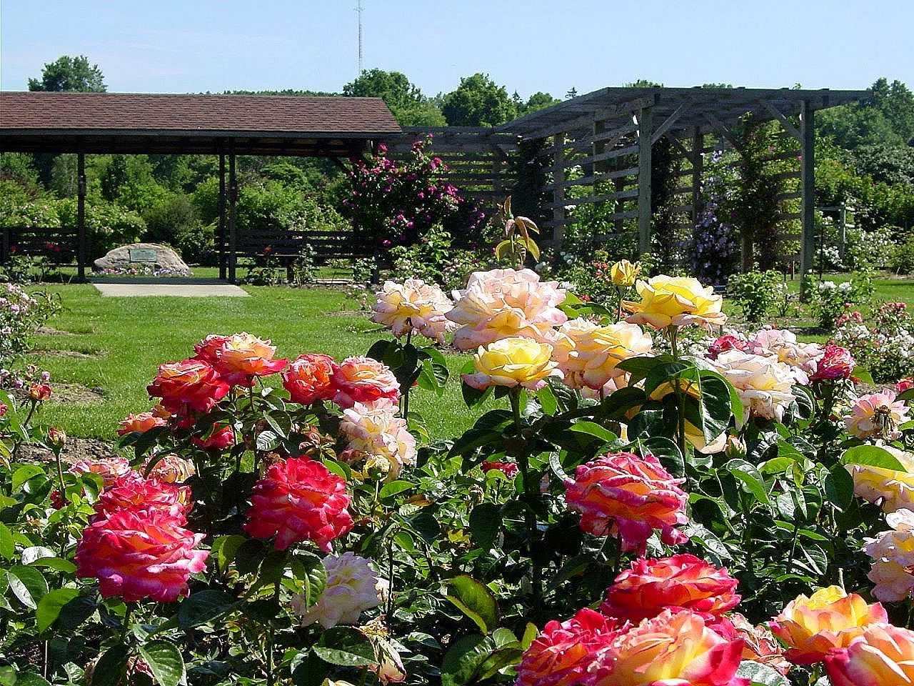 Разведение роз на участке
