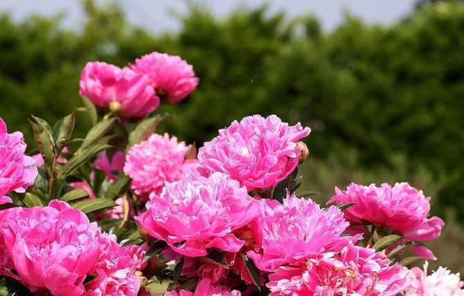 Волшебное цветение пионов: 5 советов