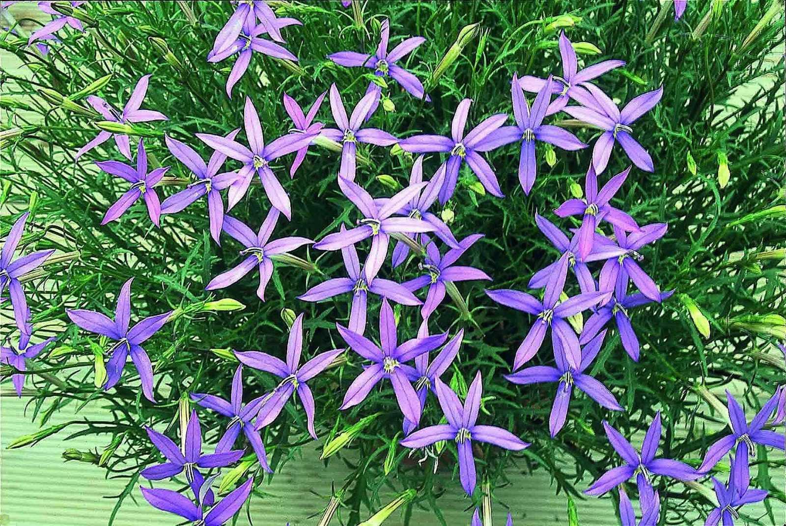 Прекрасная изотома в вашем саду
