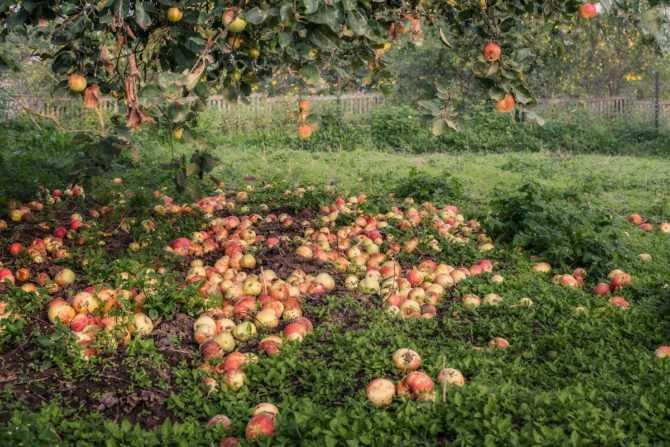 Яблокопад - бедствие для садовода