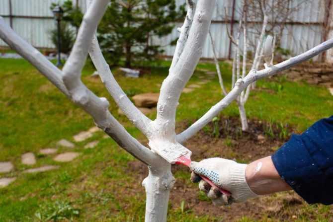 Как защитить яблоню весной?